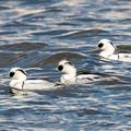 Photos: 水辺の野鳥 16