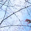 さくら咲く 2017 file-013
