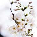 さくら咲く file-018