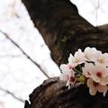 さくら咲く 2020 file-011
