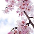 さくら咲く 2020 file-012