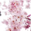 さくら咲く 2020 file-017