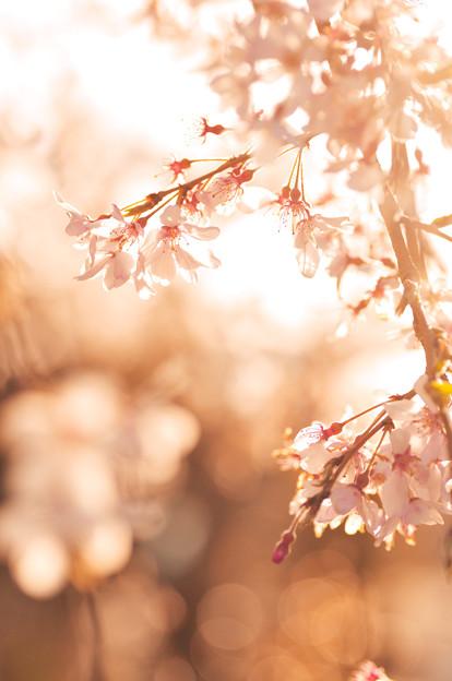 さくら咲く 2020 file-018
