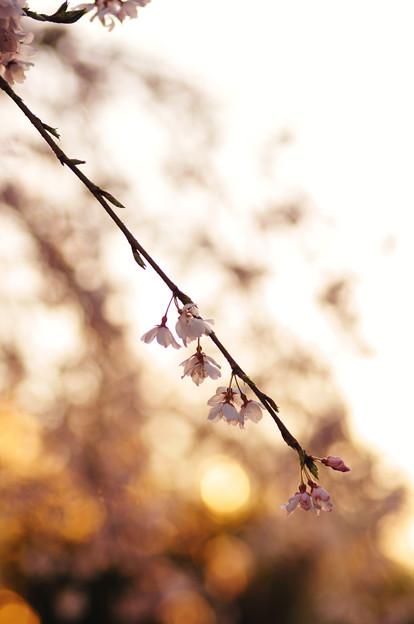 さくら咲く 2020 file-027