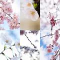 Photos: 在宅愛桜