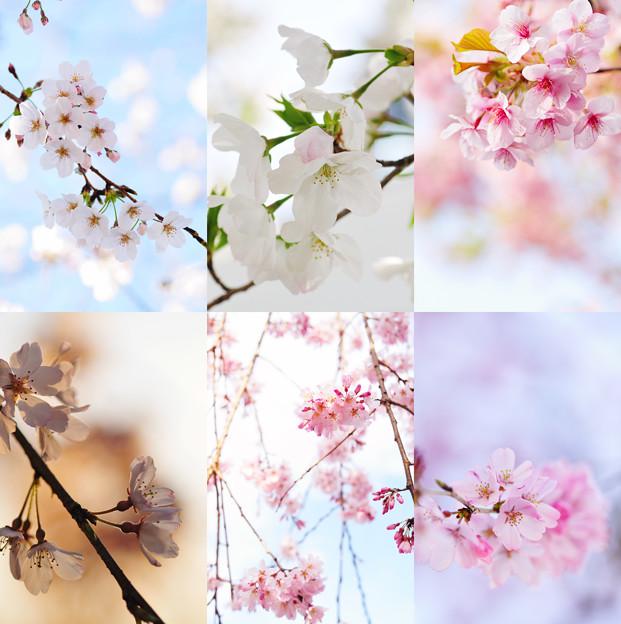 在宅愛桜 2
