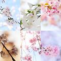 Photos: 在宅愛桜 2