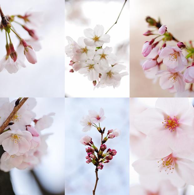 Photos: 在宅愛桜 3