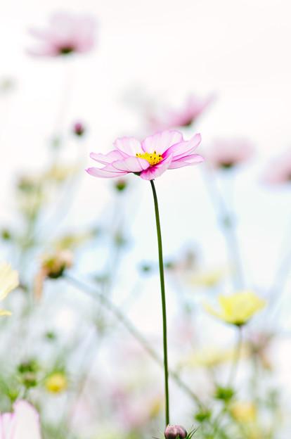 Photos: 秋桜 2020 file-002
