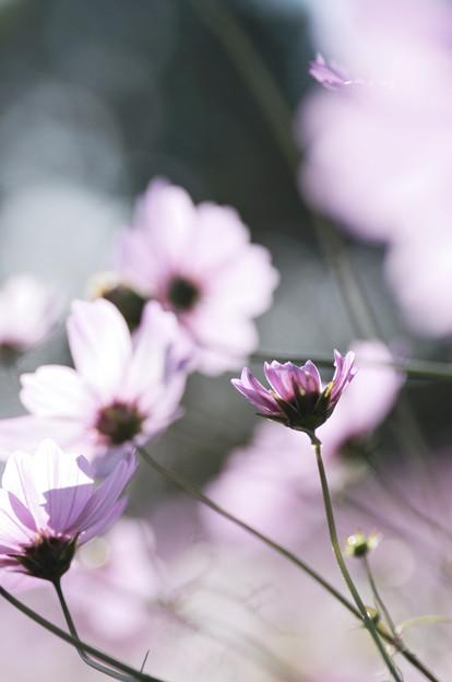 秋桜 2020 file-004