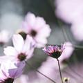 Photos: 秋桜 2020 file-004