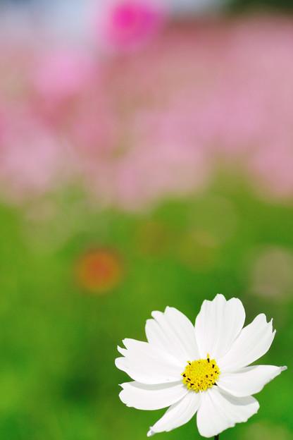 秋桜 2020 file-007