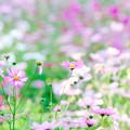 Photos: 秋桜 2020 file-013