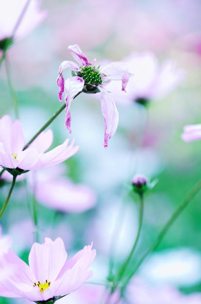 秋桜 2020 file-014