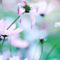 Photos: 秋桜 2020 file-014