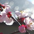 写真: 我が家の花(アンズ)