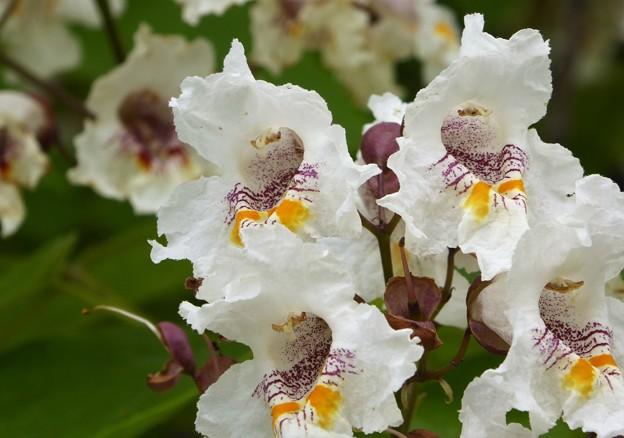 ハナキササゲの花