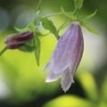 我が家の花(ホタルブクロ)