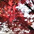 真っ赤なモミジと木漏れ日