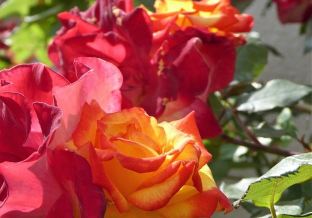 我が家の花(七変化バラ開花)
