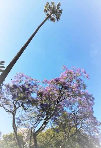 椰子とジャカランダの花