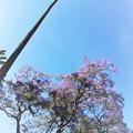 Photos: 椰子とジャカランダの花