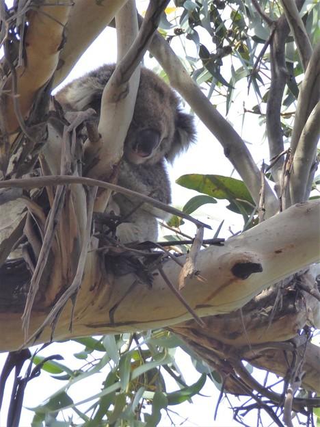 野生のコアラ発見