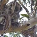 Photos: 野生のコアラ発見