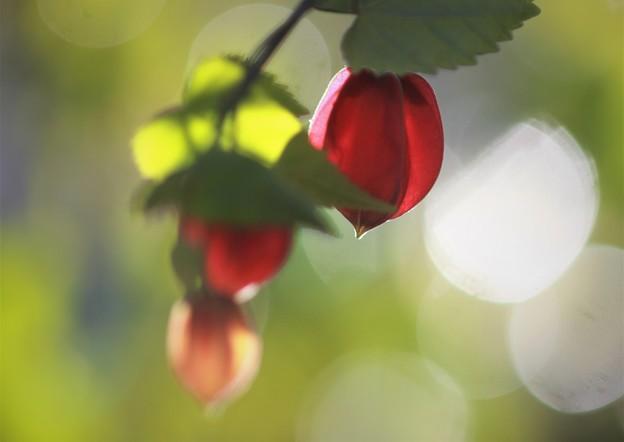 我が家の花(アゼプチン)