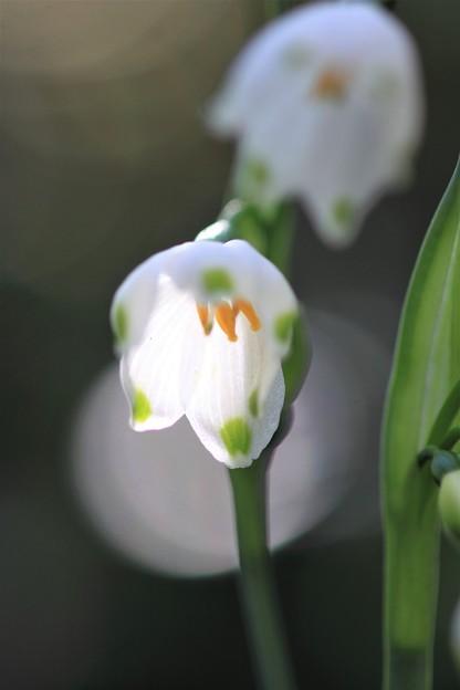 我が家の花(スノーフレーク)