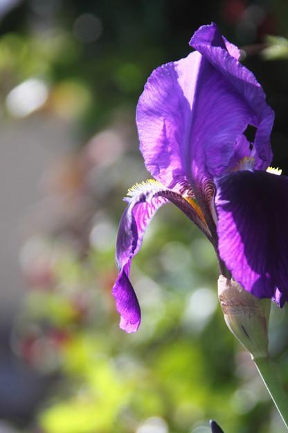 我が家の花(ジャーマンアイリス)JPG