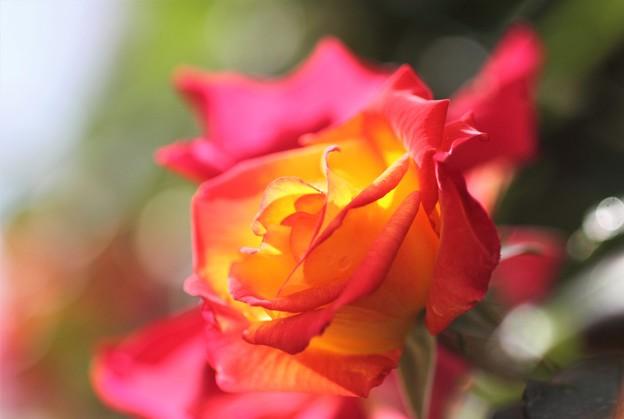 我が家の花(バラ2)