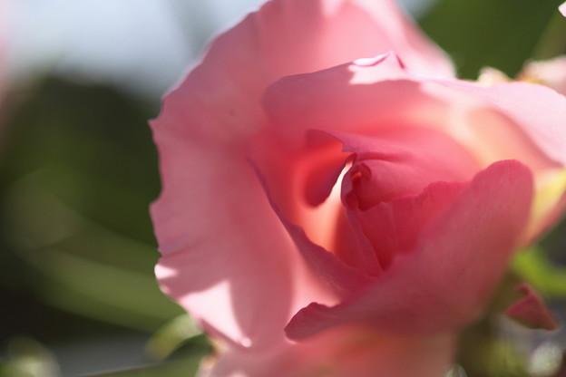我が家の花(バラの向こうにみえるもの)
