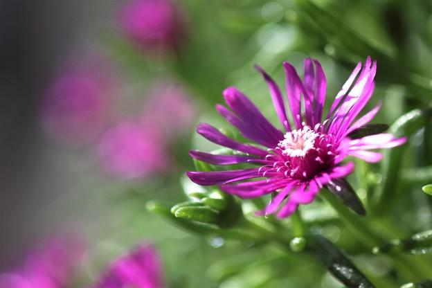 我が家の花(マツバギク)