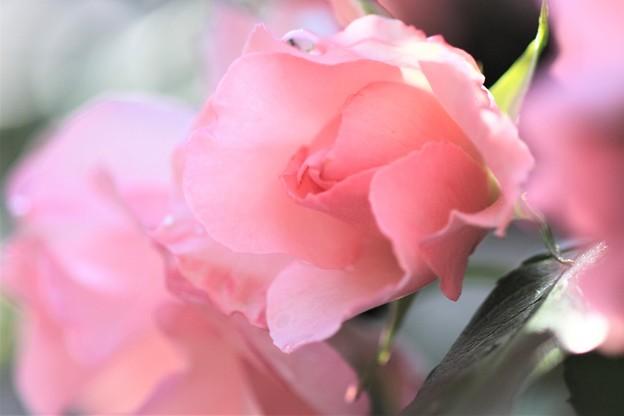 今日が最後のピンクバラ