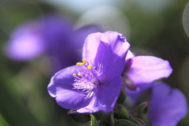 我が家の花(ツユクサ)