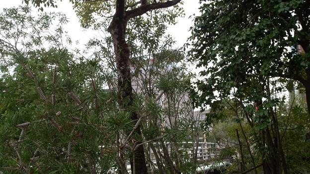 ブラシの木 鴨池 鹿児島市