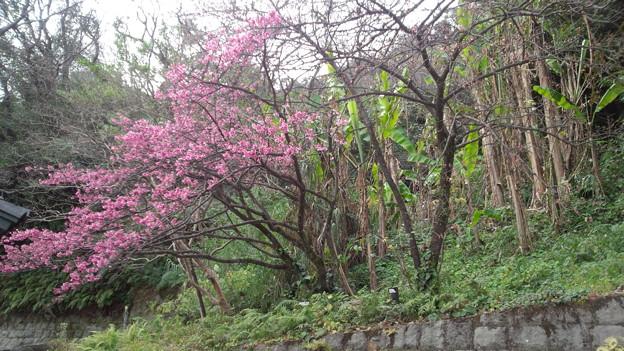 彼岸桜と河津桜 黎明館 鹿児島