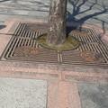 「おはら祭り」樹木保護盤の中に 中央公園 鹿児島市