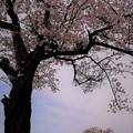 Love 桜