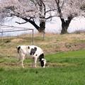 写真: 春を食む