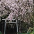写真: 桜神の道