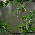 花桃の実と空蝉