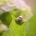 写真: 紫陽花に飽きた蛙