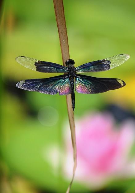 まだまだ、蝶トンボ