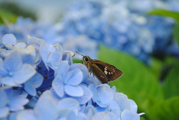 紫陽花コラボ