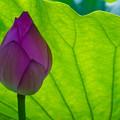 Photos: 蓮の蕾