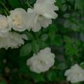 Photos: 白バラ?
