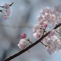 蓮馨寺の桜1