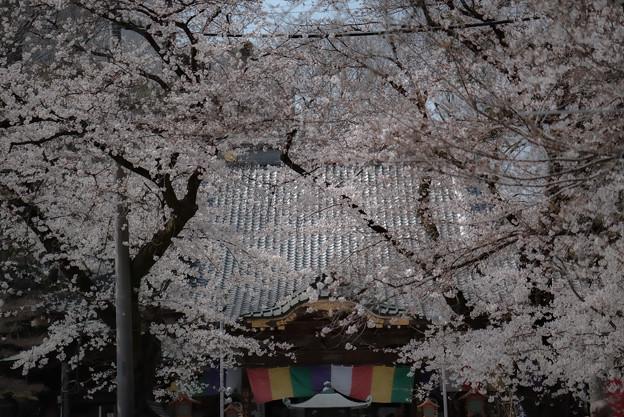 Photos: 蓮馨寺の桜2